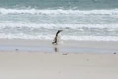 Пингвины - Magellan и Gentoo Стоковая Фотография