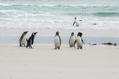 Пингвины - Magellan и Gentoo Стоковое Изображение RF