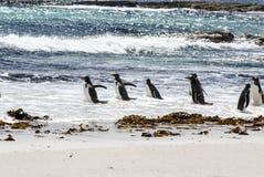 Пингвины - Magellan и Gentoo Стоковые Изображения RF