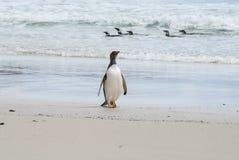 Пингвины - Magellan и Gentoo Стоковая Фотография RF