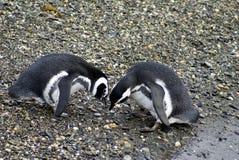 Пингвины Magellanic выполняя сопрягая дисплей на скалистом острове около Ushuaia, Аргентины стоковое фото rf