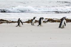 Пингвины Magellanic на пляже Стоковые Изображения RF