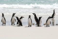 Пингвины Magellanic на пляже Стоковые Изображения