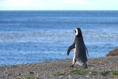 Пингвины Magellanic на святилище пингвина на острове Магдалены в проливе Magellan около Punta Ar Стоковые Фото