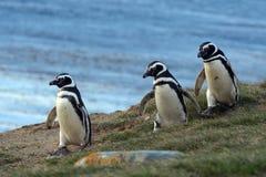 Пингвины Magellanic на святилище пингвина на острове Магдалены в проливе Magellan около арен Punta в южной Чили стоковое изображение