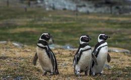 Пингвины Magellanic, остров Магдалены, Чили Стоковая Фотография