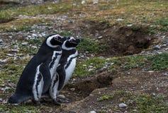 Пингвины Magellanic, остров Магдалены, Чили Стоковое Изображение RF