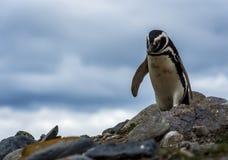 Пингвины Magellanic, остров Магдалены, Чили Стоковое Изображение