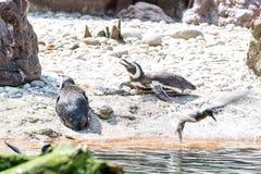 Пингвины Magellanic отдыхая на песке Стоковые Изображения RF