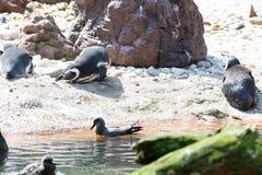 Пингвины Magellanic отдыхая на песке Стоковая Фотография