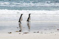 Пингвины Magellanic после одина другого Стоковые Фотографии RF