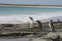 Пингвины Magellanic - Фолклендские острова Стоковые Фотографии RF
