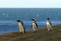 Пингвины Magellanic (magellanicus spheniscus) на святилище пингвина на острове Магдалены Стоковые Фото