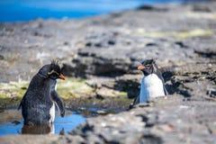Пингвины Rockhopper купая в бассейне утеса в их колонии Стоковые Фотографии RF
