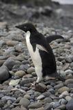 пингвин Антарктики adelie Стоковое Фото