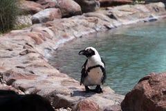 Пингвин Африки Стоковое Изображение RF