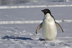 Пингвин Адели который стоит на ледяном поле Стоковые Изображения RF