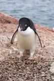 Пингвин Адели который стоит около гнезда в колониях Стоковое Фото