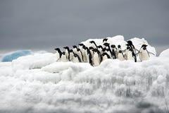 Пингвин Адели на льде, море Weddell, Anarctica Стоковое Изображение RF