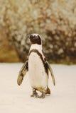 пингвин валунов Стоковое Изображение