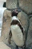 Пингвин вытаращиться Гумбольдт стоковая фотография rf