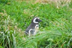 Пингвин в высокой траве Стоковые Изображения