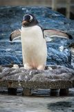 Пингвин в его гнезде зоопарка Стоковые Фотографии RF