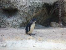 Пингвин в зоопарке Австралии Стоковое Изображение RF
