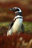 Пингвин в красной траве вечера, пингвин Magellanic, magellanicus spheniscus, черно-белая птица воды в среду обитания природы, f Стоковое Изображение
