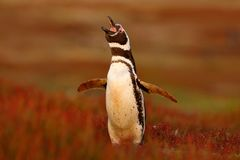 Пингвин в красной траве вечера, пингвин Magellanic, magellanicus spheniscus Черно-белый пингвин в среду обитания природы, Falk Стоковые Изображения RF