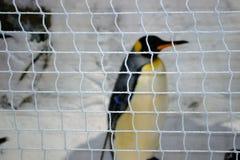Пингвин в плене Стоковые Изображения RF