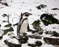 Пингвин в снеге Стоковое Изображение