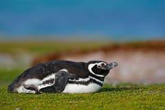 Пингвин в траве Птица в природе Пингвин Magellanic с поднимает вверх крыло Черно-белое животное в сцене живой природы Красивое pe Стоковые Фотографии RF