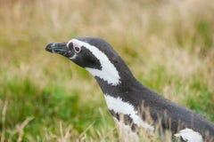 Пингвин в траве Стоковое Изображение RF