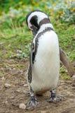 Пингвин в Чили Стоковая Фотография RF