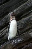 Пингвин Галапагос Стоковые Изображения