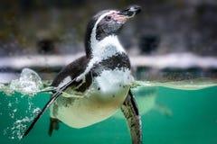 Пингвин Гумбольдта в воде Стоковая Фотография RF