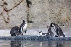 Пингвин Гумбольдта на зоопарке Орегона стоковое фото rf