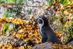 Пингвин Гумбольдта, humboldti spheniscus в зоопарке стоковое изображение rf