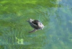 Пингвин Гумбольдта заплывания Стоковые Фотографии RF