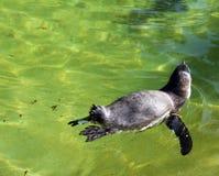 Пингвин Гумбольдта имея заплыв Стоковое Изображение RF