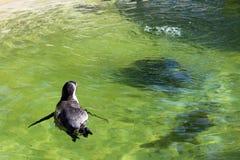 Пингвин Гумбольдта имея заплыв Стоковые Фотографии RF