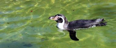Пингвин Гумбольдта имея заплыв Стоковые Изображения