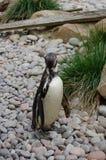 Пингвин Гумбольдта на зоопарке Стоковое Изображение