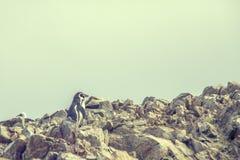 Пингвин Гумбольдта на Islas Ballestas в Перу Стоковые Изображения