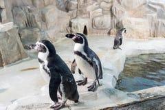 Пингвин Гумбольдта, перуанский пингвин Стоковые Изображения RF