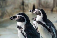 Пингвин Гумбольдта, перуанский пингвин Стоковая Фотография