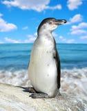 Пингвин Гумбольдта Стоковые Изображения
