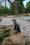 Пингвин Гумбольдта (humboldti spheniscus) на зоопарке Стоковое Изображение RF