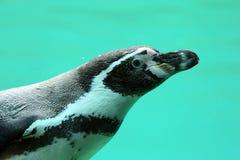 Пингвин Гумбольдта, humboldti spheniscus Стоковая Фотография